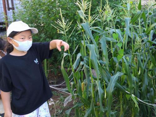 あそびーむの畑にも、トウモロコシができた!